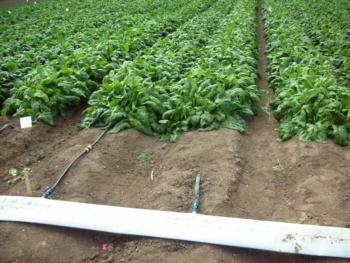 Drip tape used to irrigate spinach.  Photo:  D Porter