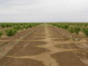 Microirrigation on young almonds  Photo: L. Schwankl