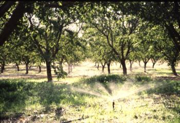 Microsprinkler irrigation in a walnut orchard.  Photo: L. Schwankl.